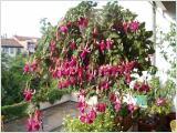 Fuchsia, Fuchsien, Blumenampeln