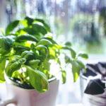 Basilikum, Gewürzpflanze