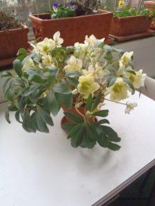Christrose im Winter