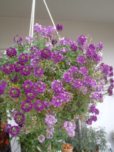 Duftsteinrich, Blumenampeln,