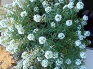 Balkonpflanzen, Blüte, Herbst,