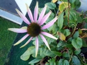 Echinacea, roter Sonnenhut, Sommer Blüher,er