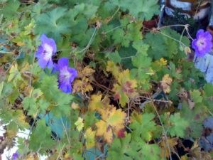 Storchenschnabel, Herbstblüte,