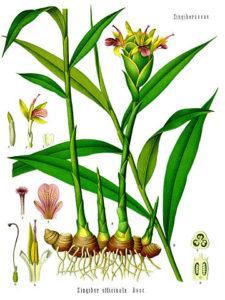 Ingwer Blüte und Wurzel